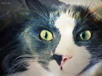 sibirrska macka s rodokmenom