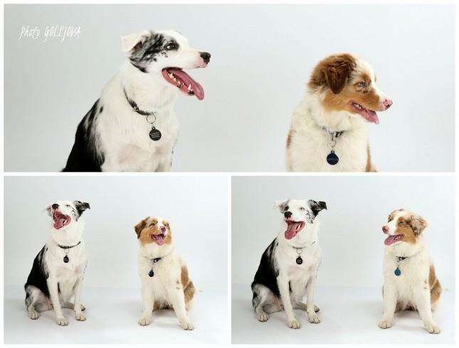 bordocolia australsky salasnicky pes