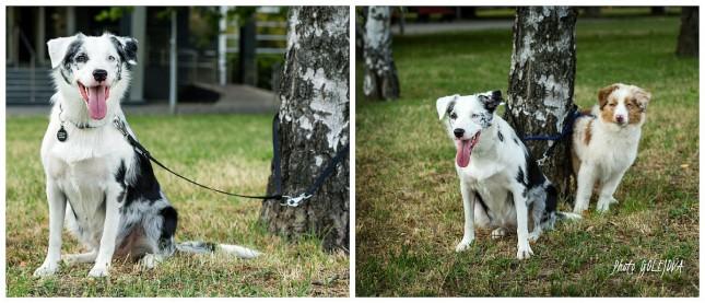 psi pri strome