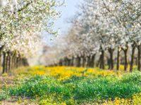rozkvitnute stromy fotenie