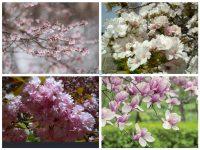 fotenie sakury slivone magnolie_golejova